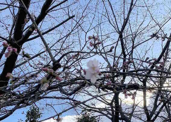200226 桜.jpg